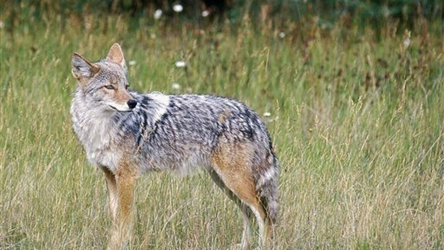 A coyote, possibly on the lookout for 'shrooms.
