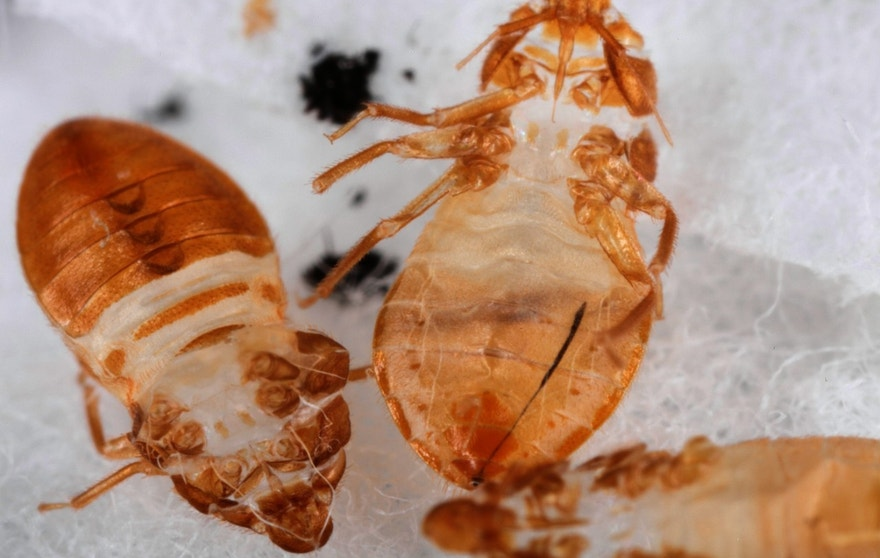 Close up of three shed skins of fifth instar bed bug nymph.