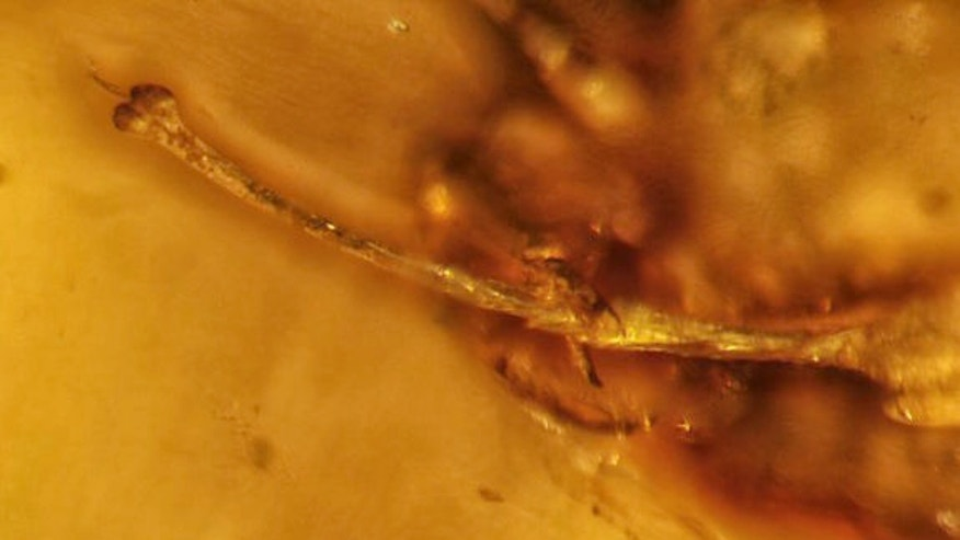 A close look at the erect harvestman penis found trapped in amber in Myanmar.