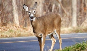 A white-tailed deer forages for food along the road on Mount Greylock in Lanesborough, Mass., Friday, Nov. 27, 2015. (Stephanie Zollshan, The Berkshire Eagle via AP)