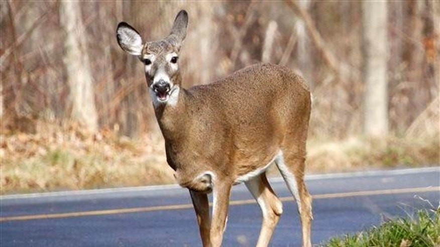A white-tailed deer forages for food along the road on Mount Greylock in Lanesborough, Mass., Friday, Nov. 27, 2015.