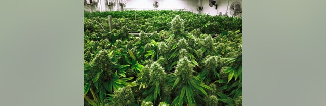 Marijuana plants are a few weeks away from harvest in Albion, Ill.
