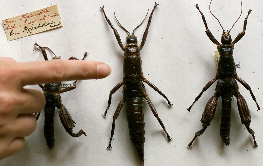 AN AUSTRALIAN SCIENTIST POINTS TO THE LORD HOWE ISLAND STICK INSECT SPECIMEN AT THE AUSTRALIAN MUSEUM IN SYDNEY.