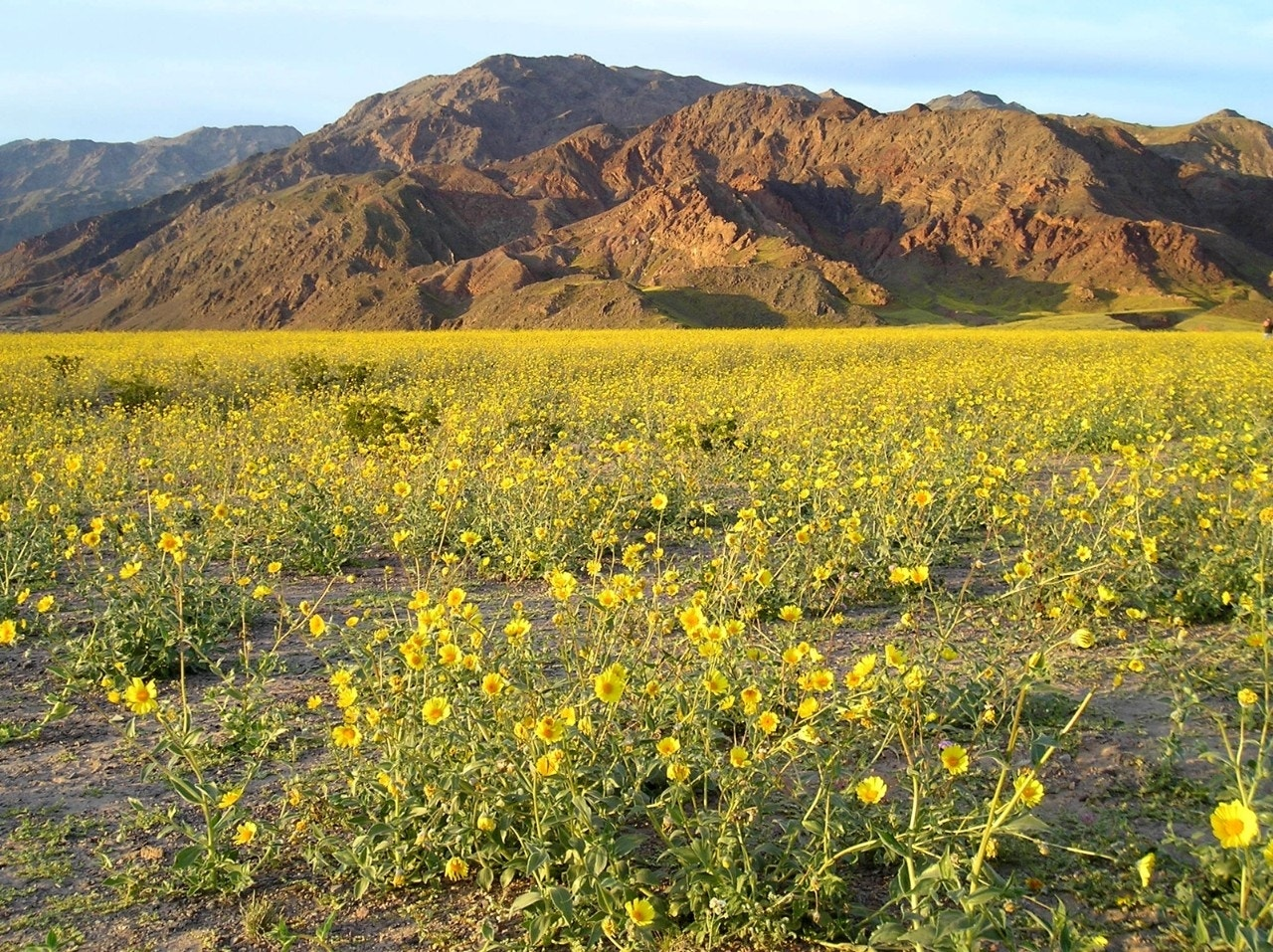 Death Valley may be about to enjoy a rare wildflower super bloom
