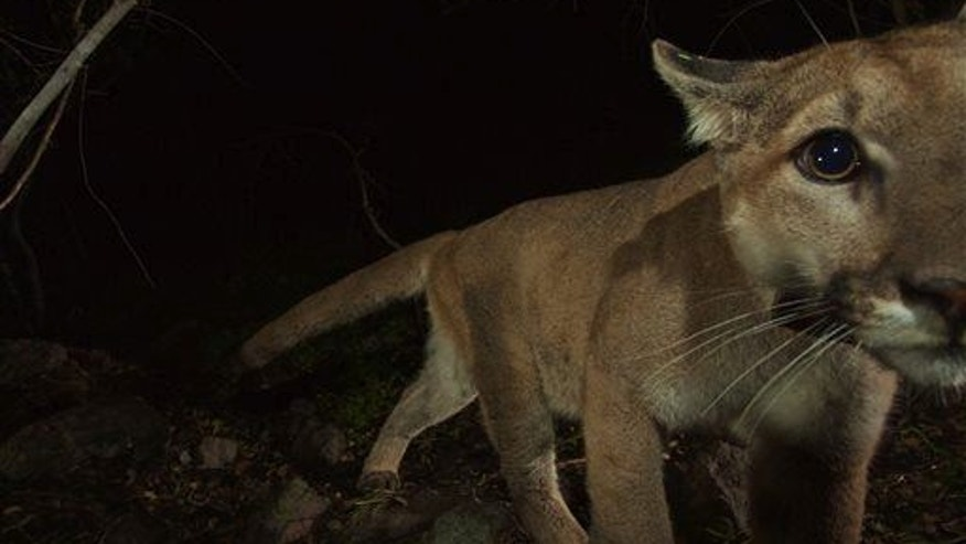 A mountain lion walks near a remote camera in California.