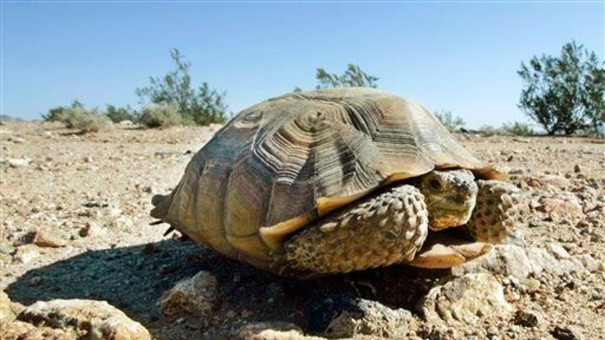A desert tortoise in the eastern Mojave Desert.