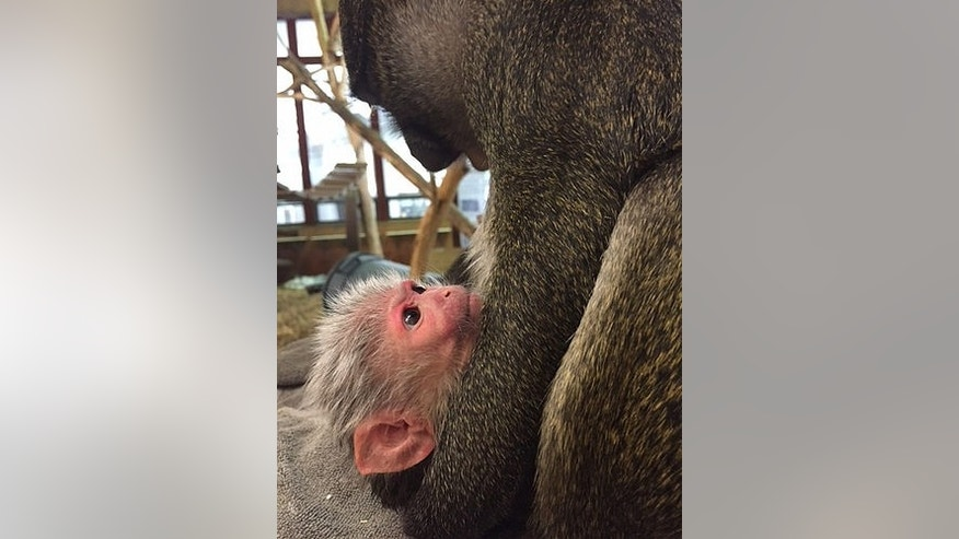 Mother Allen's swamp monkey Layla holds her baby born March 9.