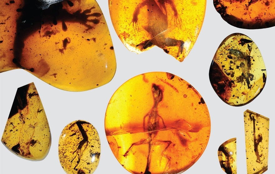 A chameleon about 100 million years old preserved in amber.