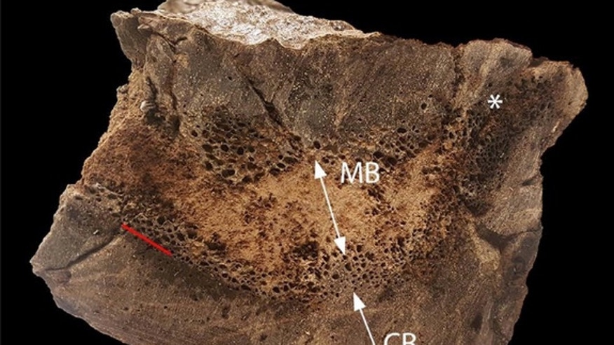 A cross section of the T. rex's bone showing the medullary bone in the middle.