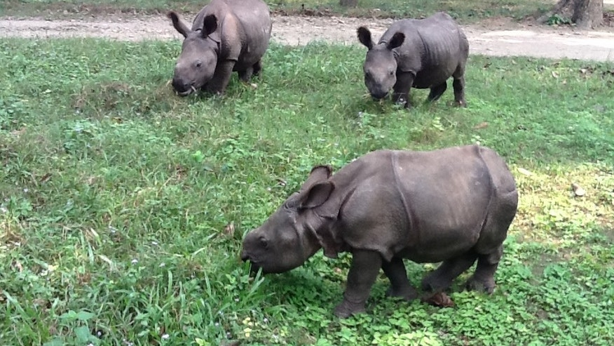 Researchers in Nepal confirm first case of TB in a rhino