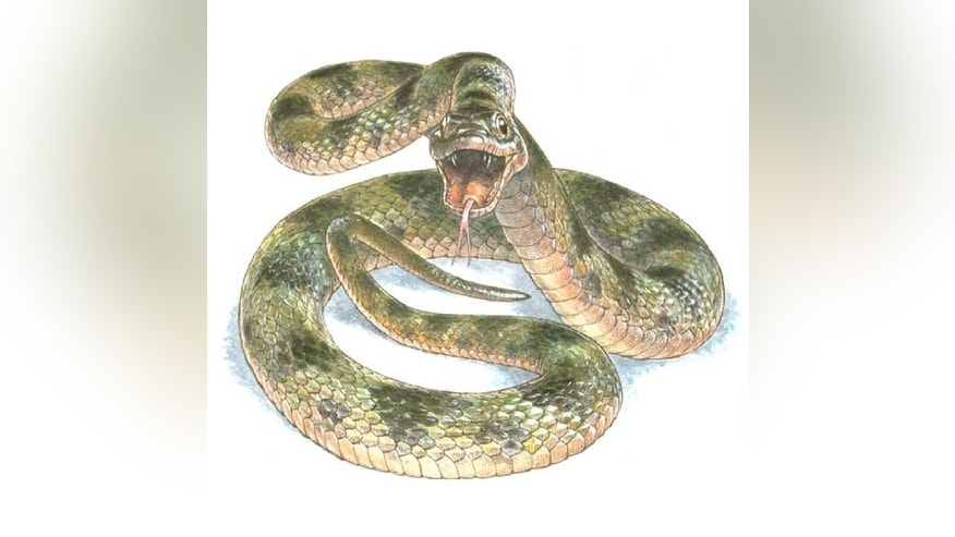 An artist's rendition of the snake, part of the Colubridae family. (Jim Robbins)