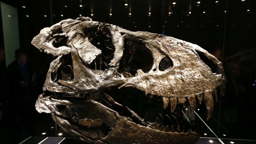 The original skull of a Tyrannosaurus rex skeleton is shown at the Natural History Museum in Berlin, Germany December 16, 2015. (REUTERS/Pawel Kopczynski)
