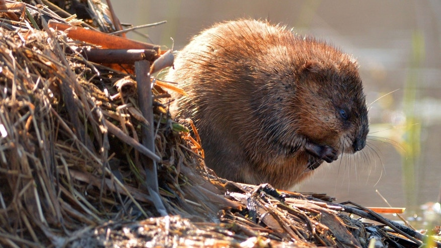 A seemingly harmless beaver.
