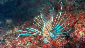 A common lionfish (Pterois miles) specimen photographed in the Mediterranean Sea.
