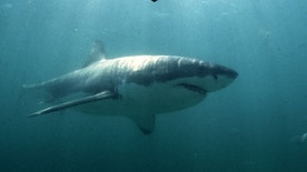 UNDATED FILE PICTURE - A Great White Shark swims past a diving cage off Gansbaai about 200 kilometres east of Cape Town. Hunted to the brink of extinction in the 1970's and 1980's, the Great White is now a protected specis in many parts of the world. In South Africa shark cage diving forms a growing business in the eco- and adventure tourism industries. **POOR QUALITY DOCUMENT** - RTXJFVX