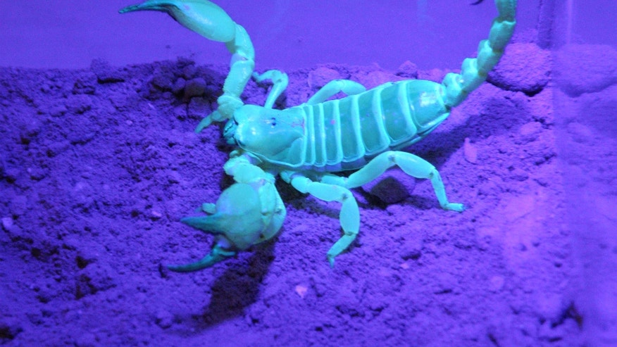 A scorpion, Scorpio palmatus, under ultraviolet light.