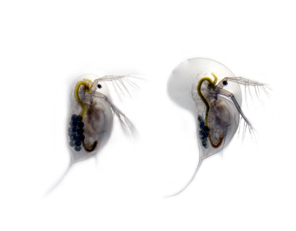 daphnia magna neurotransmitters Impact of heavy metal exposure on the nervous system and  uptake of neurotransmitters  daphnia magna (schultz et al 1980) bodar et.