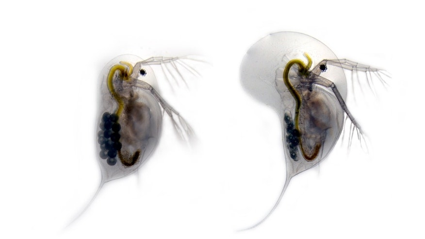 The water flea Daphnia longicephala in two different forms. On the left is the unarmored version of the species. On the right is the same animal with a large head crest and long tail spines. D. longicephala develops this
