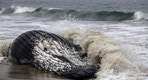 A dead humpback whale lies washed ashore at Dockweiler Beach in Los Angeles on Friday, July 1, 2016.