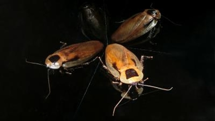 Cockroaches have internal GPS that's similar to rats and humans.