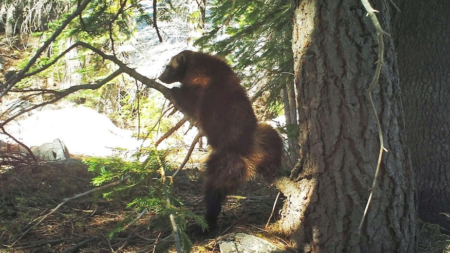 This May 18, 2016, provided by the California Department of Fish and Wildlife,photo from a remote camera set by biologist Chris Stermer, shows a wolverine in the Tahoe National Forest near Truckee, Calif.
