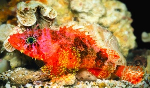 A new species of scorpionfish,<em>Scorpaenodes barrybrowni</em>, discovered in the deep reefs of the Caribbean. This scorpionfish is distinguished from its relatives by the elongated rays on its fins and by i