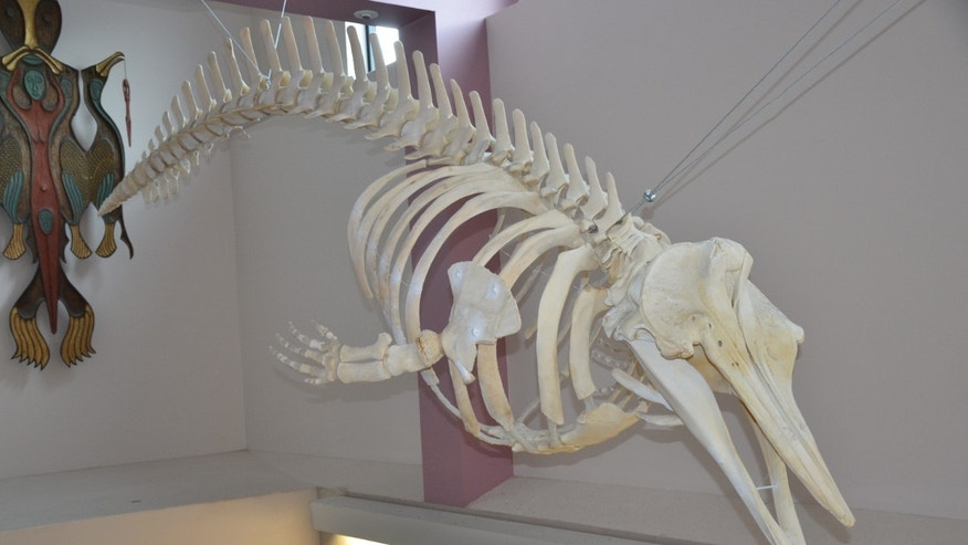 A skeleton of the new species on display at Unalaska High School in Alaska.