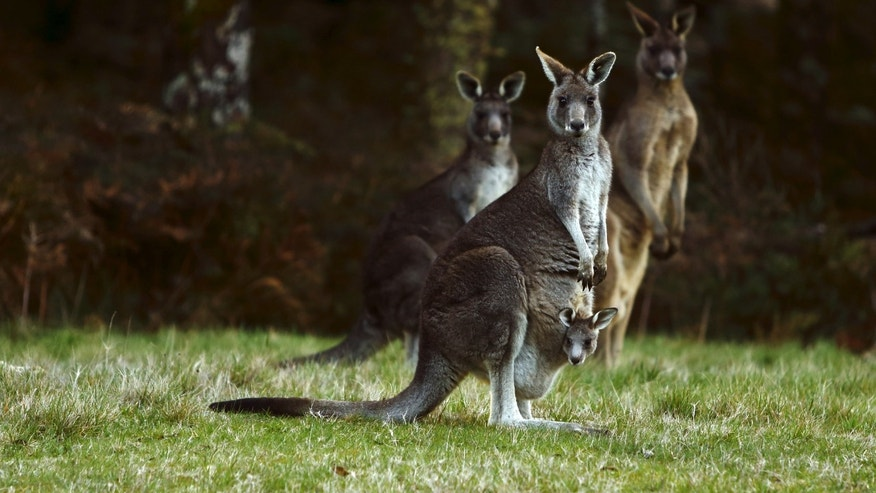 File photo - Kangaroos, including one carrying a joey in its pouch, stand by the side of a road on Mount Macedon, outside Melbourne, Australia, Sept. 20, 2015. (REUTERS/Darrin Zammit Lupi)