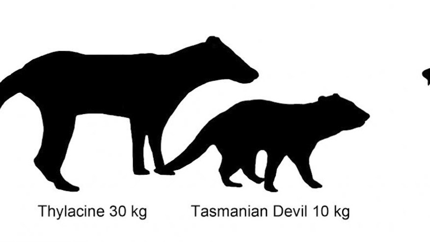 An illustration showing the size comparison of Australian marsupials, including a newly described extinct species of carnivorous marsupial, Whollydooleya tomnpatrichorum.