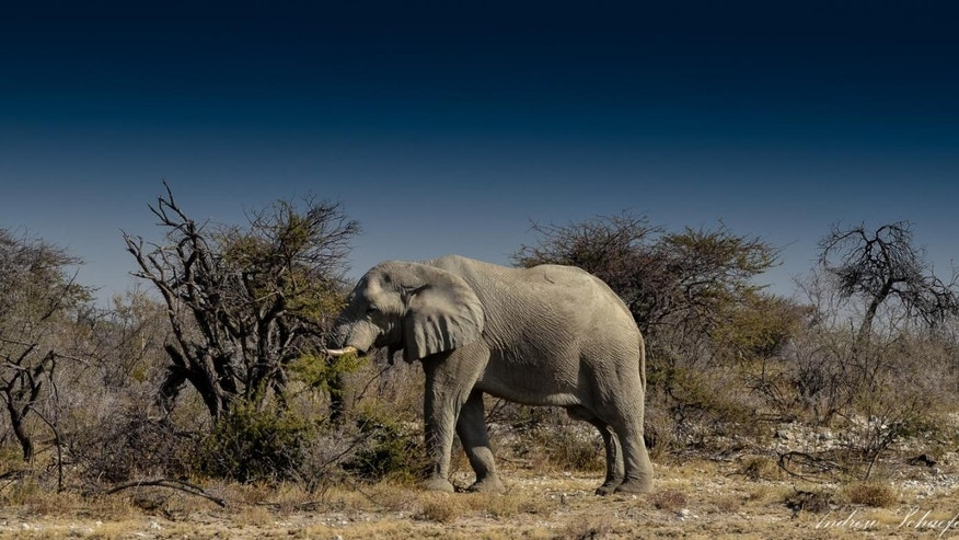 Elephant in Namibia.