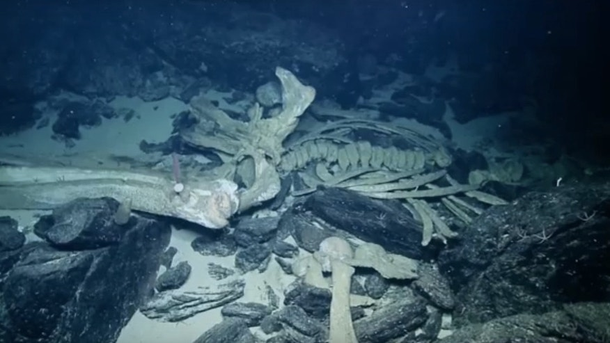 Scientists aboard the Exploration Vessel Nautilus spotted these whale bones on the seafloor.