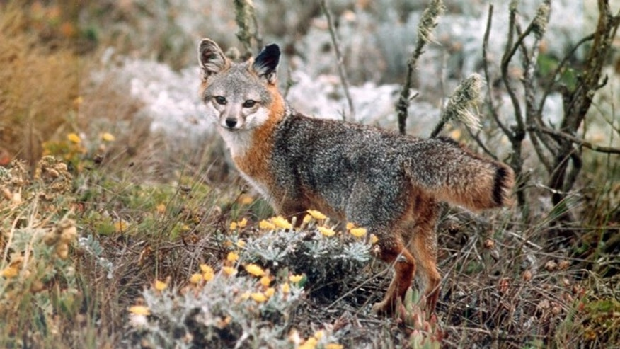 This undated photo provided by the U.S. Fish and Wildlife Service shows an island fox amid native shrubbery in Channel Islands National Park, Calif.
