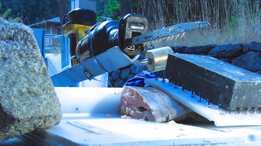 This power saw, poised to cut into a salmon, is armed with shark teeth.