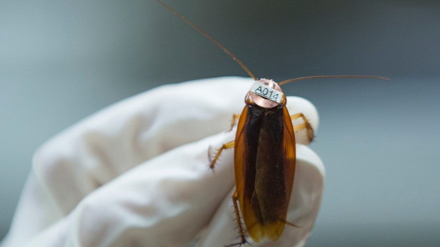 File photo: An american cockroach (Periplaneta americana), on which a radio tag is attached, is seen at the Universite libre de Bruxelles (ULB) in Brussels March 6, 2015.