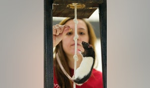 """In this photo taken on Tuesday, Nov. 25, 2014, sophomore psychology major Ashley Josoff coaxes her rat, """"Amelia"""" up a rope climb during the annual Xtreme Rat Challenge at Nebraska Wesleyan University in Lincoln, Neb."""