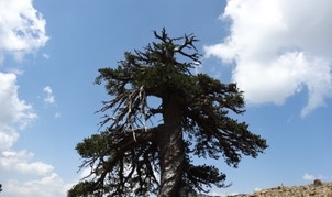 """""""Adonis,"""" A Bosnian Pine living high in the mountains of Greece, is Europe's oldest officially dated tree, at 1,075 years."""