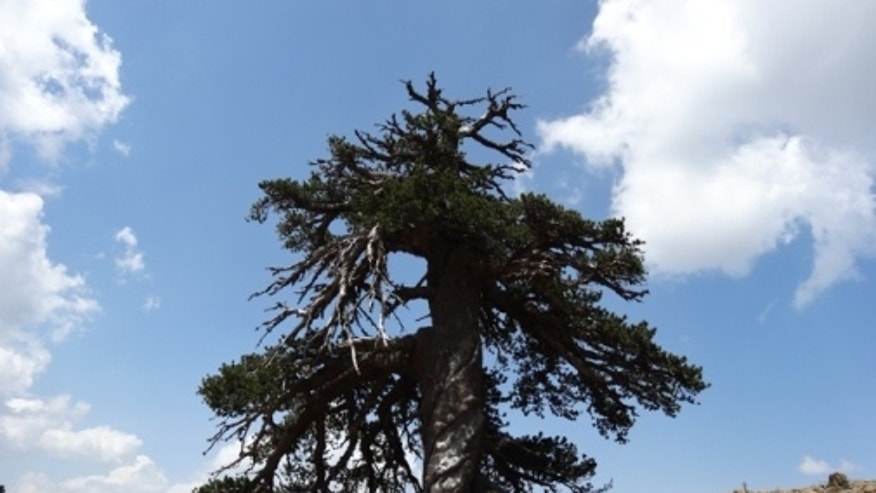 """Adonis,"" A Bosnian Pine living high in the mountains of Greece, is Europe's oldest officially dated tree, at 1,075 years."