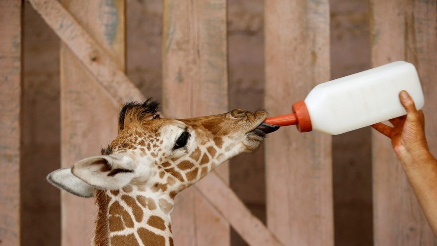 A five-day-old reticulated giraffe whose mother will not feed receives a milk bottle from Guy Pear, her keeper, at an enclosure at the Safari Zoo in Ramat Gan, near Tel Aviv, Israel August 30, 2016. (REUTERS/Baz Ratner)