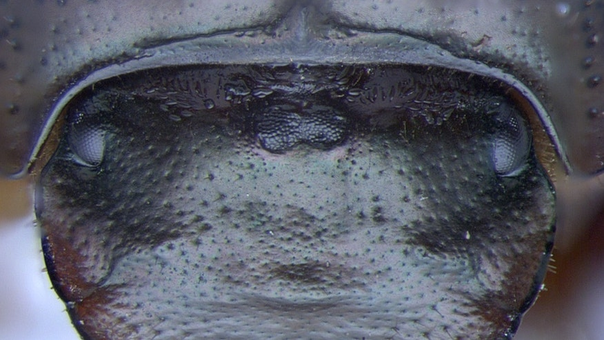 Without the orthodenticle gene, thisdung beetle (<em>Onthophagus Sagittarius</em>) grows an extra compound eye at the top center of its head.