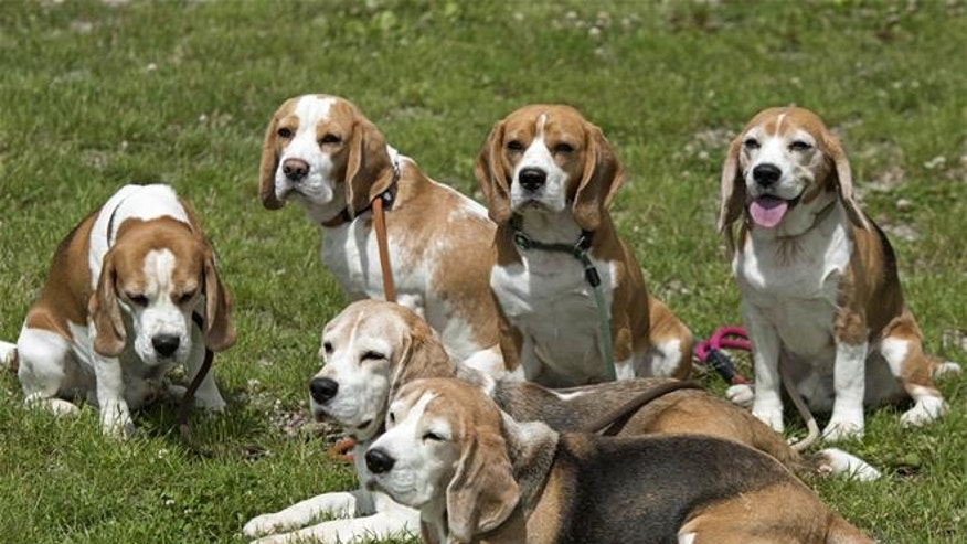 Beagles are shown in this file photo.
