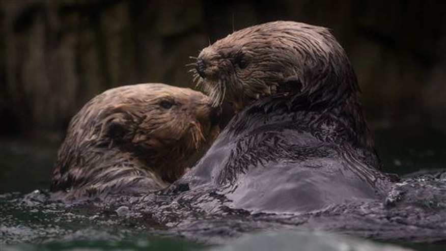 Rehabilitated sea otter Walter, right, who was blinded after a shotgun blast to the face near Tofino, British Columbia, Canada, swims with female Tanu after being introduced to her for the first time at the Vancouver Aquarium in Vancouver, British Columbia, Canada on Thursday, Nov. 6, 2014.