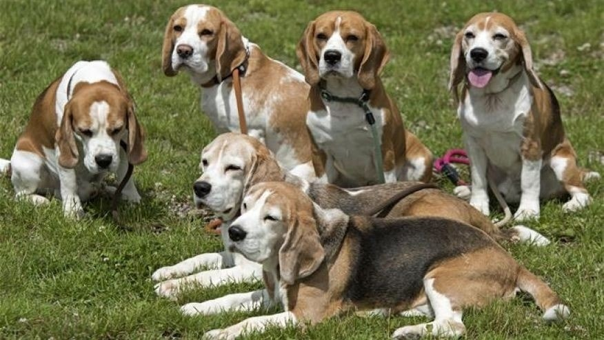 University defends study that led to 6 beagles being euthanized | Fox News