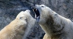 Polar bears play inside their enclosure at Prague Zoo, Czech Republic, February 24, 2016.   REUTERS/David W Cerny - RTX28CH5