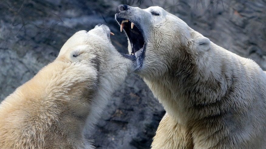 Polar bears play inside their enclosure at Prague Zoo, Czech Republic, February 24, 2016. (REUTERS/David W Cerny)