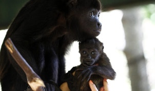 Veterinary Connie Tien tries to adapt a rescued baby howler monkey to a substitute mother at the Costa Rica Animal Rescue Center in Turrucares, Costa Rica March 2, 2016. Mauricio Jimenez, coordinator of the Wild Animals hospital, said the drought in the northern region of the country is killing and affecting wild animals. REUTERS/Juan Carlos Ulate - RTS90OK