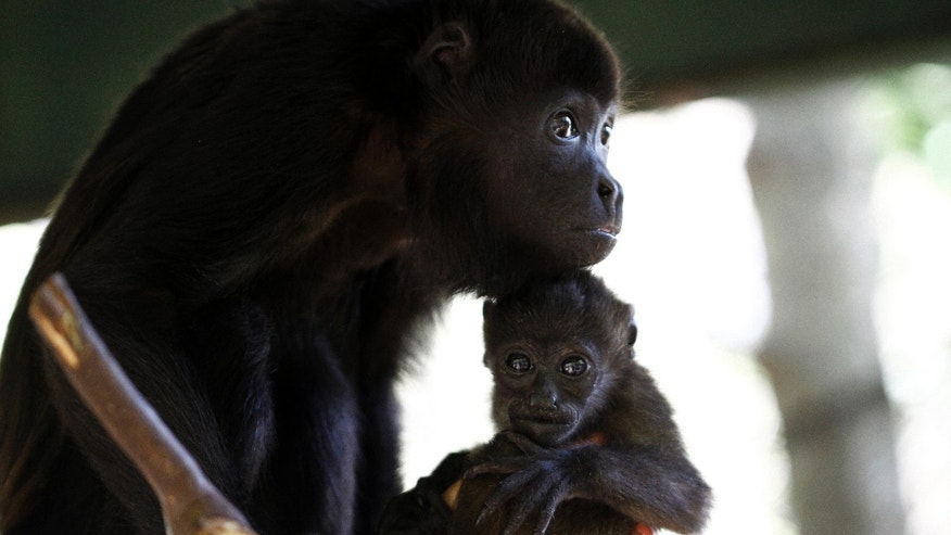 Veterinary Connie Tien tries to adapt a rescued baby howler monkey to a substitute mother at the Costa Rica Animal Rescue Center in Turrucares, Costa Rica March 2, 2016. (REUTERS/Juan Carlos Ulate)