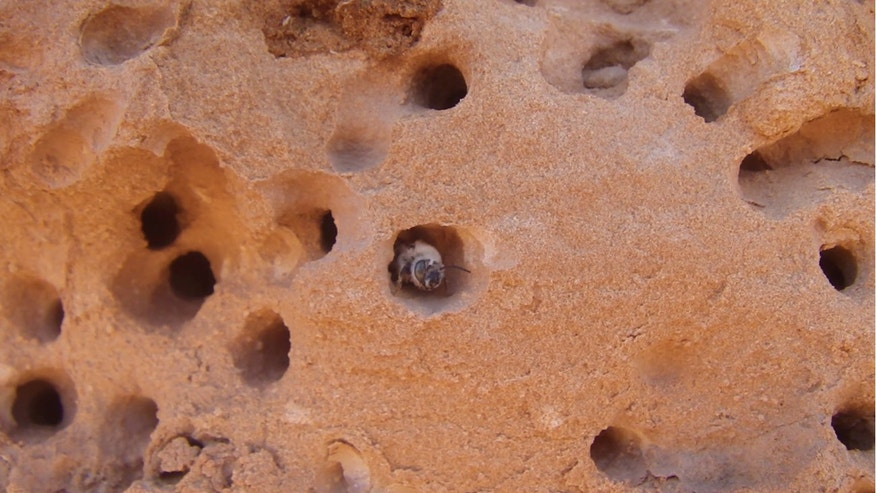 The bee species Anthophora pueblo excavate their nests in hard sandstone, such as here in Utah's San Rafael Swell.