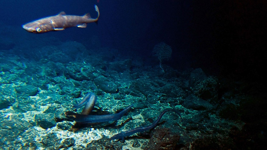 Sept. 6, 2016: A deep sea shark and several eels are attracted to bait placed at the summit of the Cook seamount, seen from the Pisces V submersible during a dive to the previously unexplored seamount off the coast of Hawaii's Big Island.