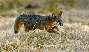 FILE - In this Nov. 23, 2003, file photo, a Santa Catalina Island fox pup dashes into the wilderness after being released on Santa Catalina Island off the coast of Southern California near Los Angeles. The tiny, pointy-eared foxes that live on Catalina are thriving again after being recovered from near extinction, but the species is running into new problems. Researchers say Catalina Island foxes are making their way out of the wild interior and into the city of Avalon, where they are increasingly found trapped inside trash bins, hit by cars and stuck in uncovered water containers. (AP Photo/Kevork Djansezian, File)