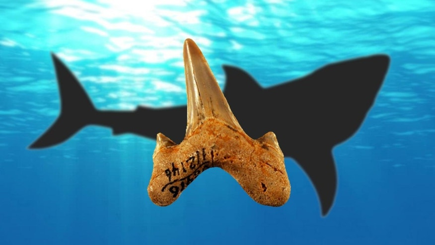 Megalolamna paradoxodon had grasping-type front teeth and cutting-type rear teeth likely used to seize and slice medium-sized fish and it lived in the same ancient oceans megatoothed sharks inhabited.